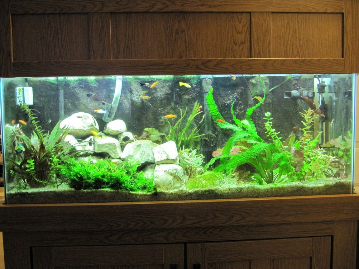 55 gallons planted tank (mostly live plants and fish) - My 55 Gallon planted aquarium. 17 species of plants and over 30 plants. No plants are fake. Also has custom 3D background.