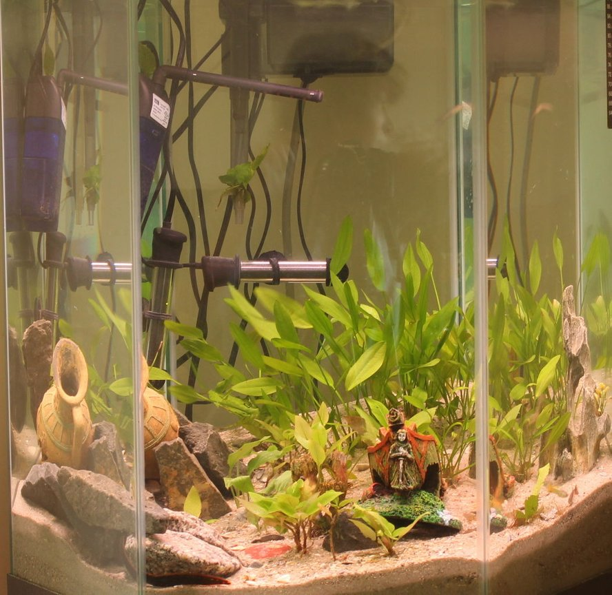 45 gallons planted tank (mostly live plants and fish) - Eel City. The fire eel is in the rocks at the bottom, and the peacock eel is half-buried between the ship and the pot, in the long grass. He's an expert hider.