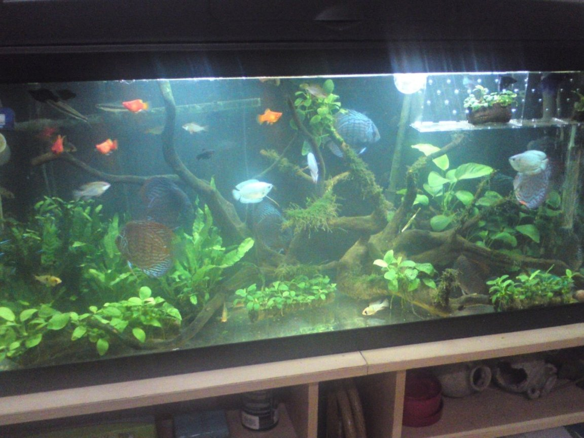 10 gallons planted tank (mostly live plants and fish) - 100 cm X 30 cm X 45 cm tank with 2 100 watt heaters and an external cannister filter, built in hood lighting... discus fish, ramirezi, platy (temporary), black molly (temporary), corydora, neon tetra, siamese fighter (temporary)... anubias, java fern, java moss...