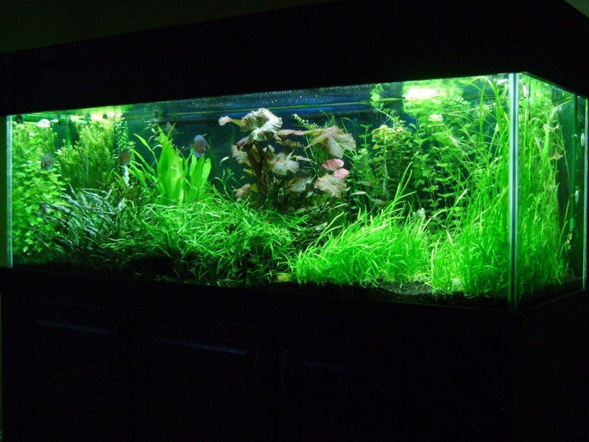 180 gallons planted tank (mostly live plants and fish) - 180G Planted Discus Tank