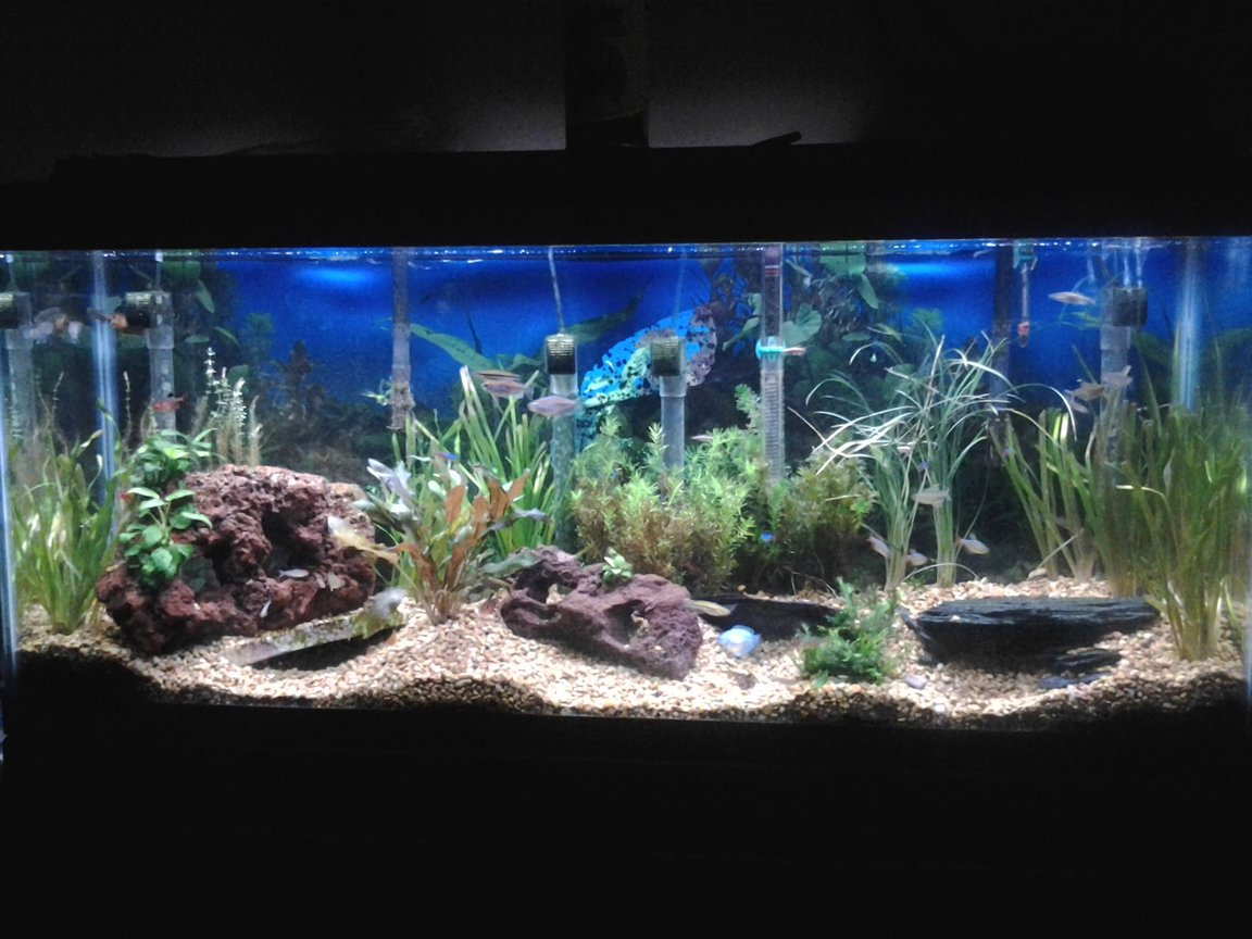 55 gallons planted tank (mostly live plants and fish) - 55 gallon tank. 45 fish, all live plants, lava rocks and slate. A all natural habitat.