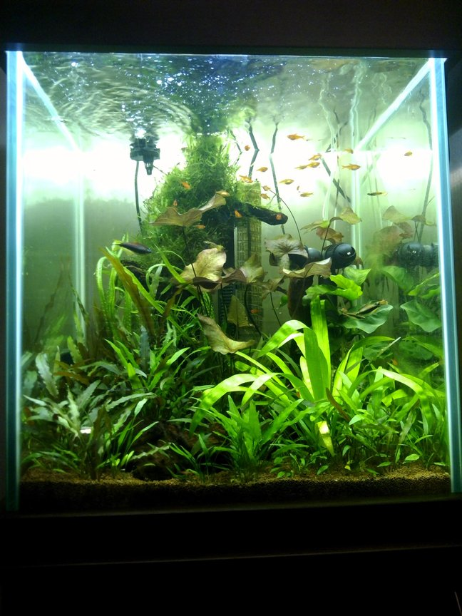 40 gallons planted tank (mostly live plants and fish) - Front view, 6 months old (ish),
