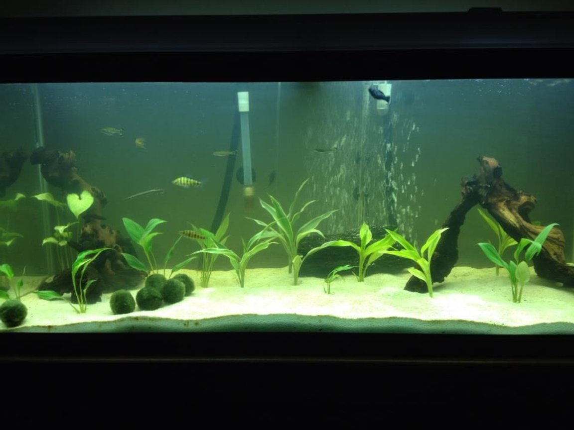 75 gallons planted tank (mostly live plants and fish) - 75 Gallon tank, mostly swords in the tank. Mopani wood, white sand. 2 banded leo's, 4 scisor tails, 1 high fin pleco, 1 Dinosaur bichir, 1 marble gar, 1 rainbow shark, 1 striped raphel catfish.