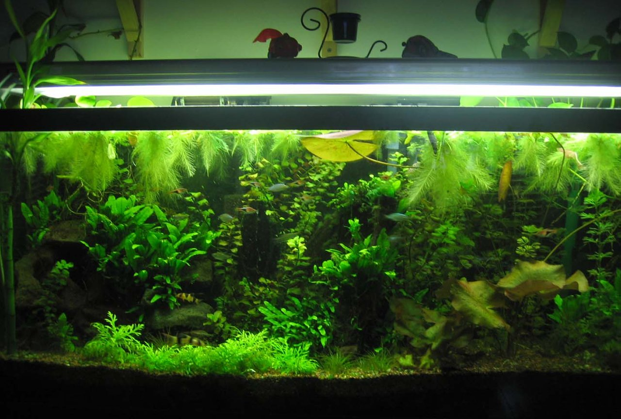 55 gallons planted tank (mostly live plants and fish) - 55 gallon planted tank. It finally grew in!!
