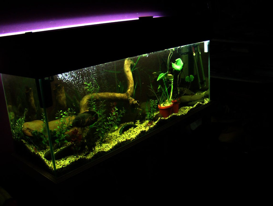 60 gallons planted tank (mostly live plants and fish) - 1 tiger oscar 2 bristle cats 4 salmon cats 1 barred midas 4 jewels