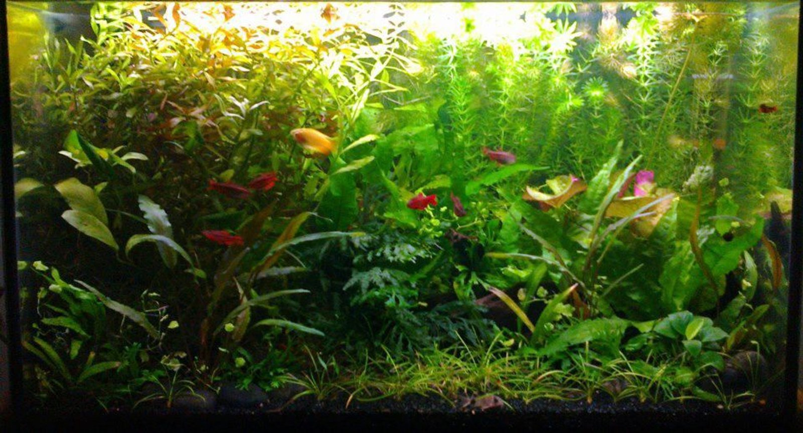 15 gallons planted tank (mostly live plants and fish) - Garden style. Easy plants, weekly 1/3 water change and pruning. Excel daily and liquid ferts every 2nd day. Honey gourami, 5 cherry barbs, 4 triliniatus corydoras (aka three-line or false julii cory). Also red cherry shrimp and a few ramshorn snails. Plant list see my profile :)