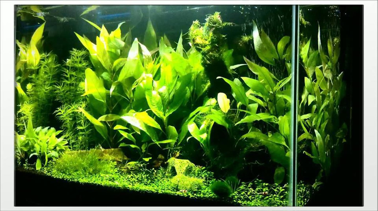 40 gallons planted tank (mostly live plants and fish) - 20G Freshwater. Temple, Anubias, Glossostigma, Flame Moss, X-Mas Moss, Java Moss. Double Bright LED, Fluval Shrimp Substrate. Crystal Red Shrimp, Crystal Black Shrimp, Blue Rili Shrimp, Otto Cat.