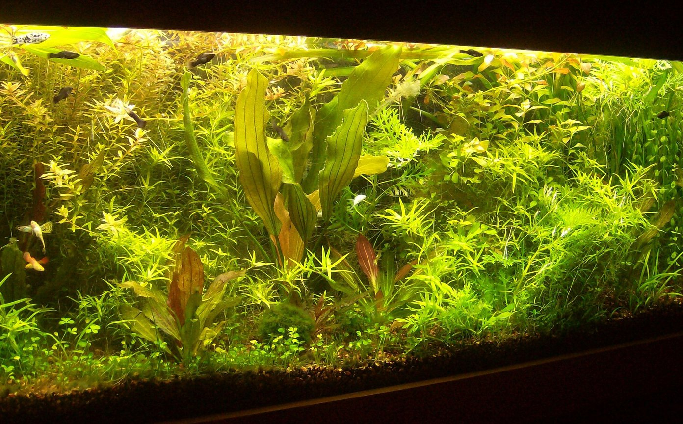 55 gallons planted tank (mostly live plants and fish) - My Aquatic Jungle