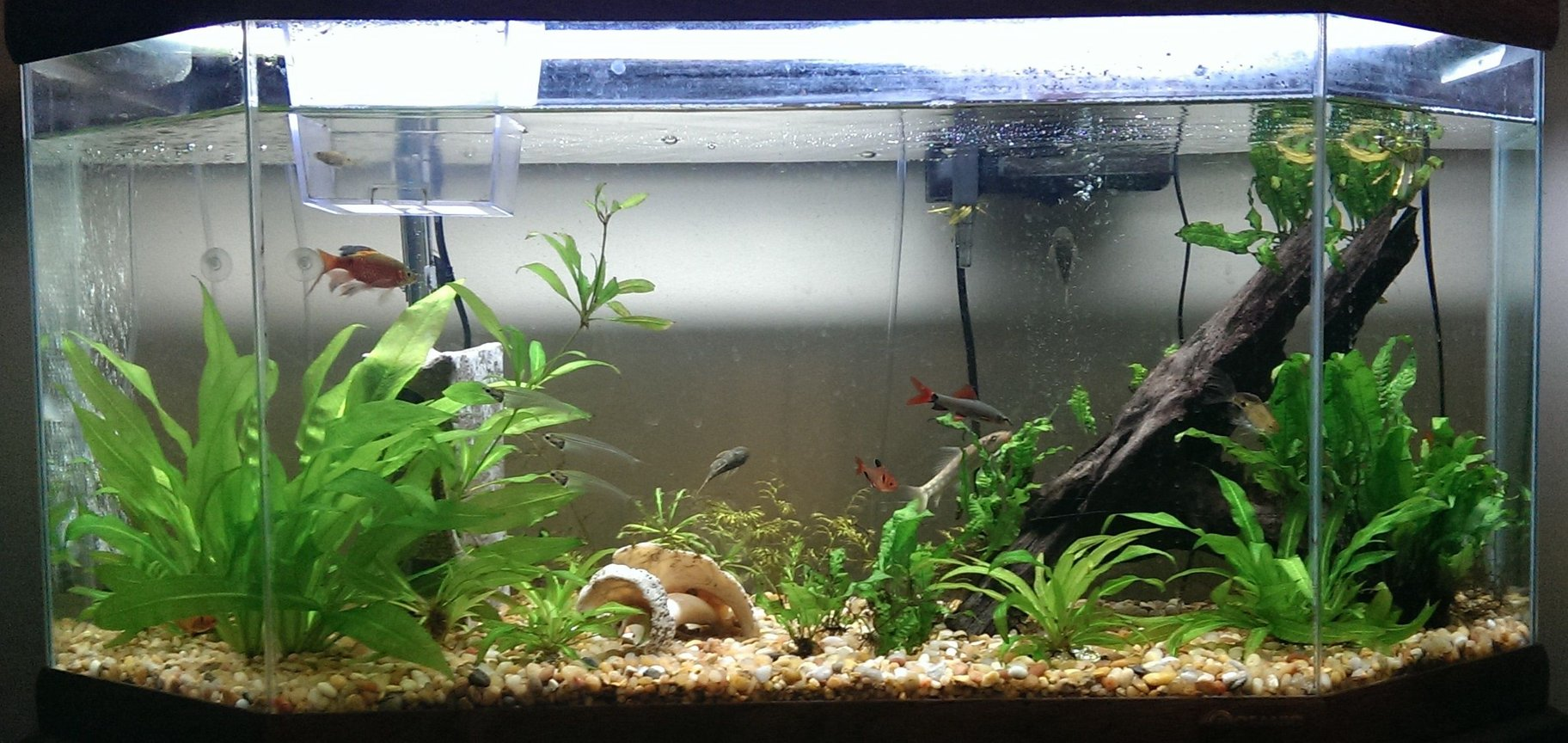 35 gallons planted tank (mostly live plants and fish) - Still a beginner but the tank currently contains amazon swords, java fern, and some water sprites. Also the water level isn't usually that low but it just happened to be when I took this photo.