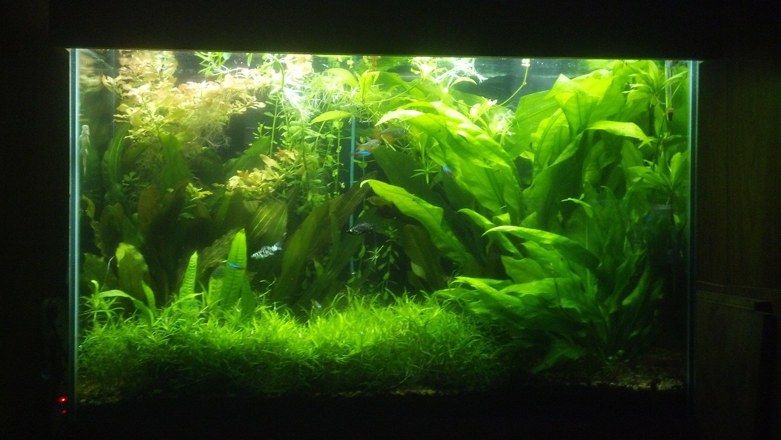 70 gallons planted tank (mostly live plants and fish) - SWORD JUNGLE