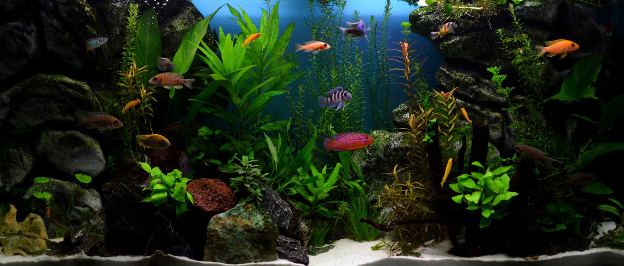 70 gallons planted tank (mostly live plants and fish) - Planted african cichlids tank Concept: healthy plants with the most colorful fish with character to rival marine aquariums