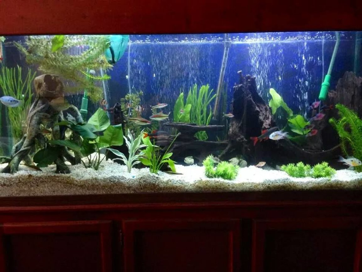 125 gallons planted tank (mostly live plants and fish) - the 125 gallon is now going planted. I have added a lot of driftwood and live plants