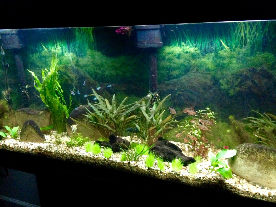 55 gallons planted tank (mostly live plants and fish) - a 55 gallon with some plants and young angels