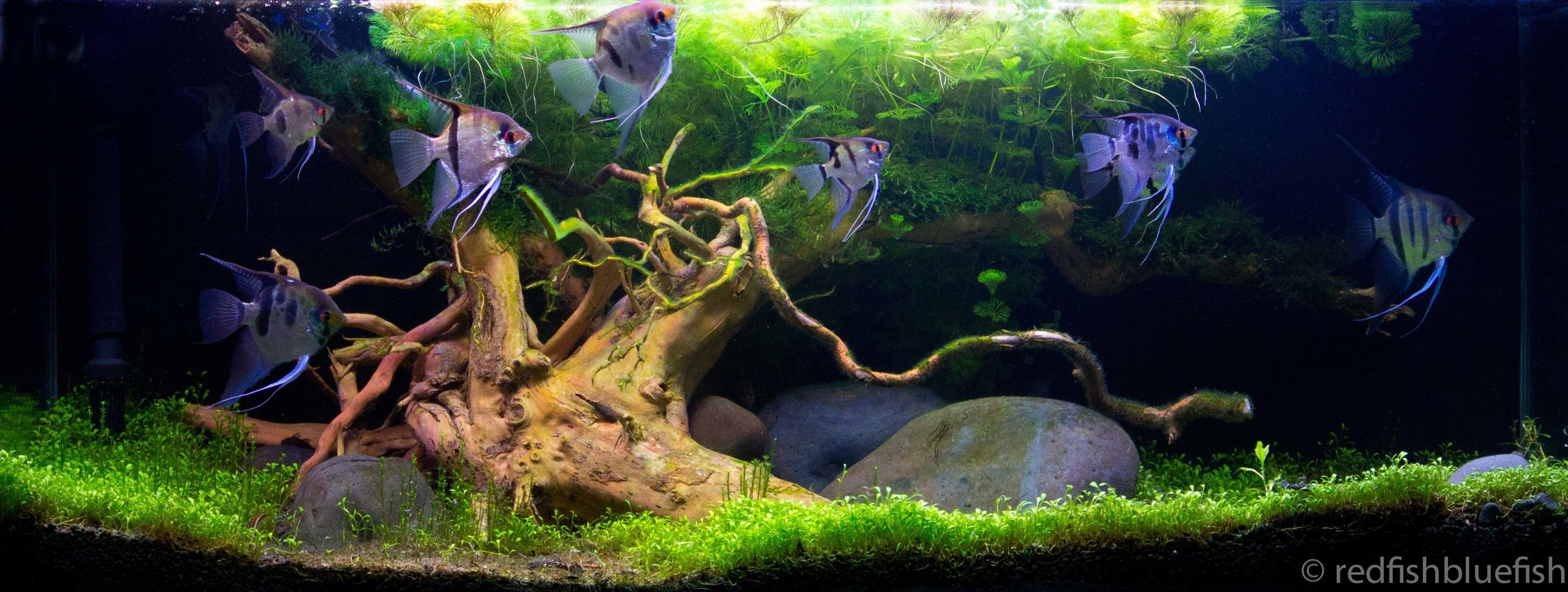 31 gallons planted tank (mostly live plants and fish) - Great Oak