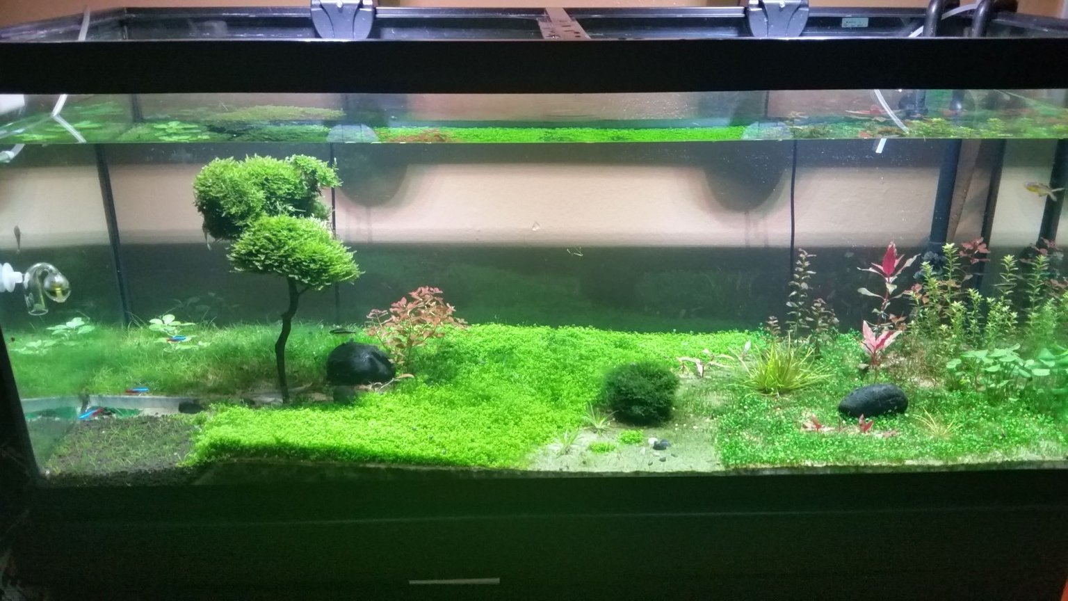 75 gallons planted tank (mostly live plants and fish) - Frontal view