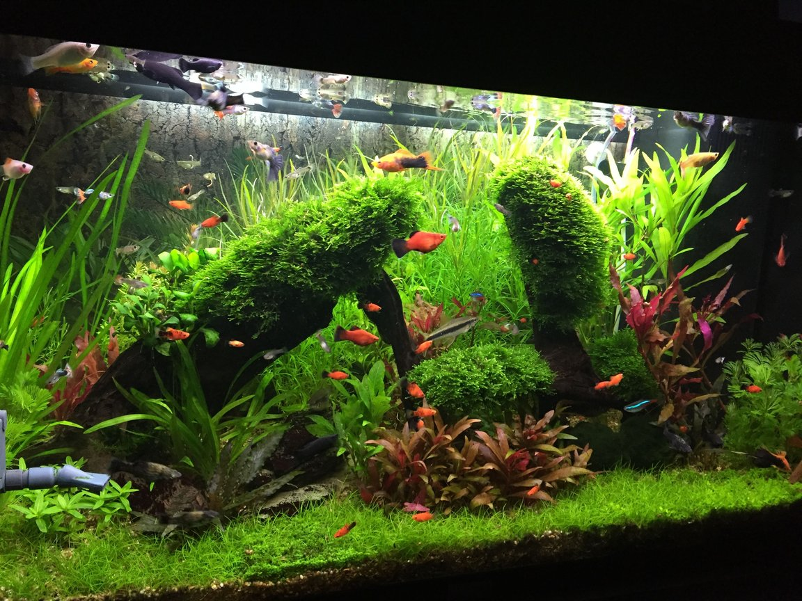 33 gallons planted tank (mostly live plants and fish) - Planted tank with live barriers