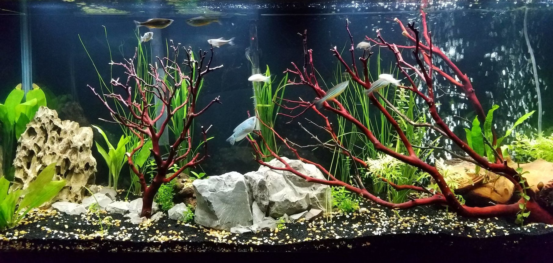 55 gallons planted tank (mostly live plants and fish) - This is a new image of the tank.