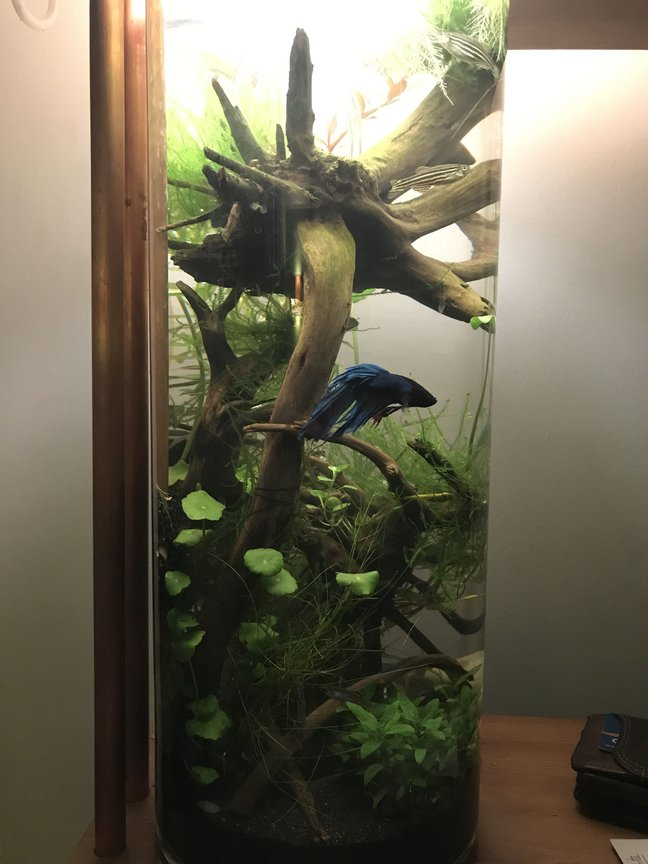 3 gallons planted tank (mostly live plants and fish) - My little betta tank