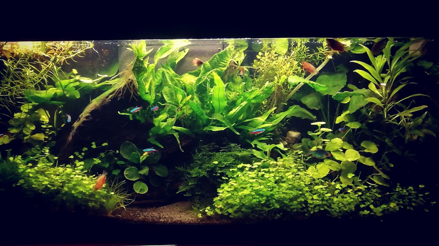 135 gallons planted tank (mostly live plants and fish) - first planted tank