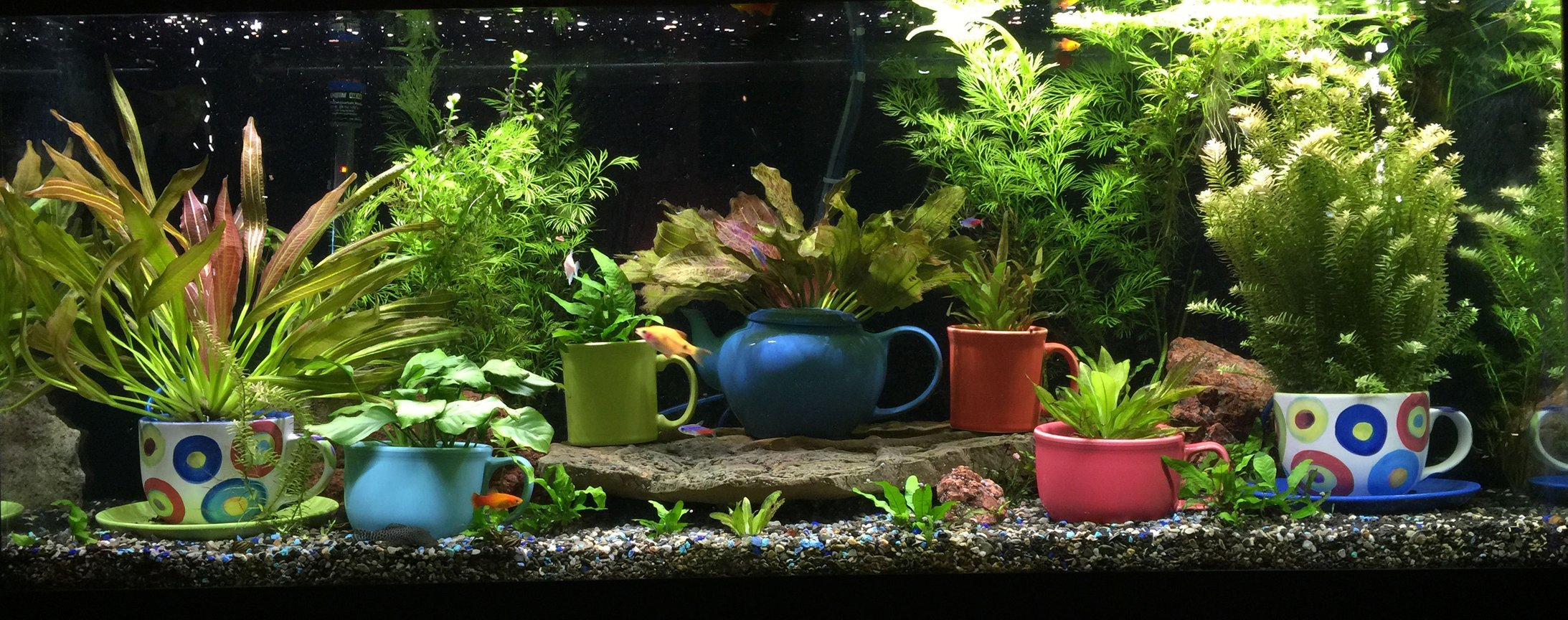 72 gallons planted tank (mostly live plants and fish) - This is my 75-gallon freshwater planted aquarium. Located in my living room, on display next to my mug collection. It's been running for 8 months or so. Enjoy and thank you!