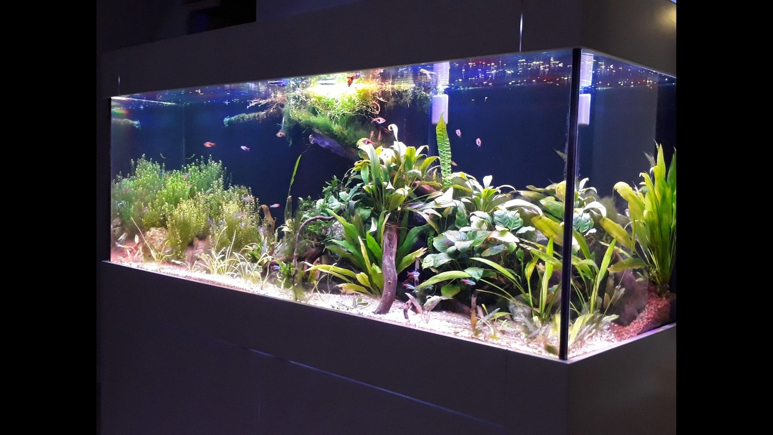 99 gallons planted tank (mostly live plants and fish) - 150*50*50 cm (99 US GALLON), 30 GALLON sump Low tech, DIY Power LED (1 watt) 56 watts fixturePlants: Cryptocoryne Usteriana Red, Sagittaria subulata, Cryptocoryne wendtii brown & green, Bucephalandra Angel Tears, Bucephalandra green wavy, JAVA FERN, Anubias (diff varieties), hydrocotyle tripartita, Bolbitis Heteroclita Difformis, Nymphaea Tiger Lotus (new), Rotala Rotundifolia, Pearlweed, Amazon swords, Pogostemon Helferi, Taiwan Moss.