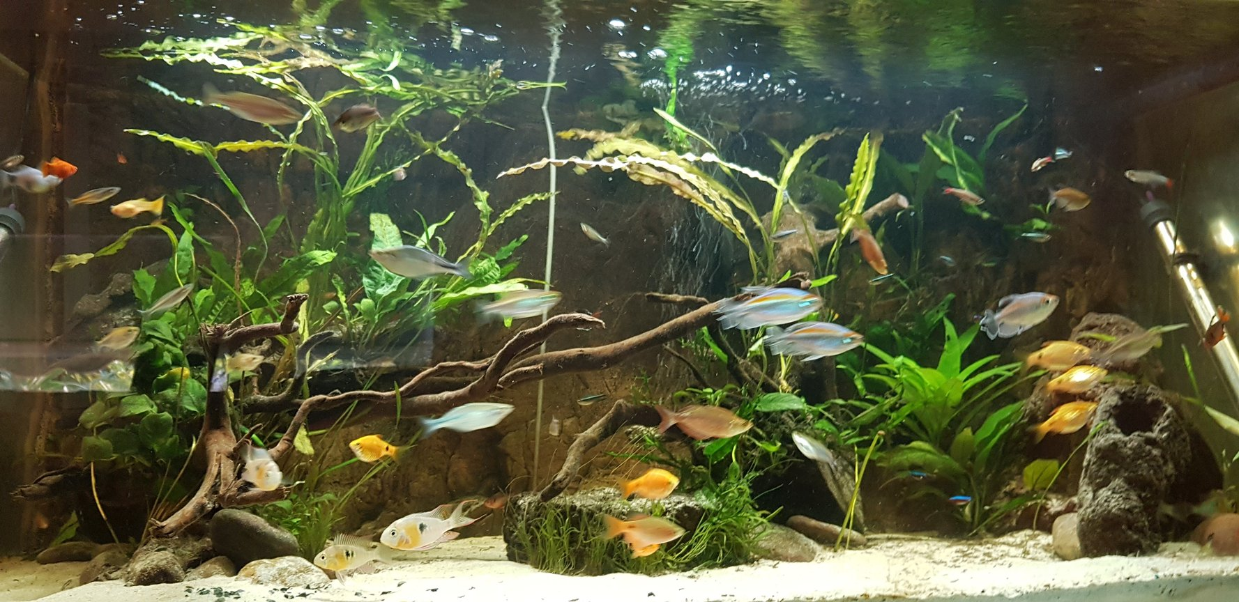 100 gallons planted tank (mostly live plants and fish) - The tank is slowly growing into it's own, roughly 2 months in