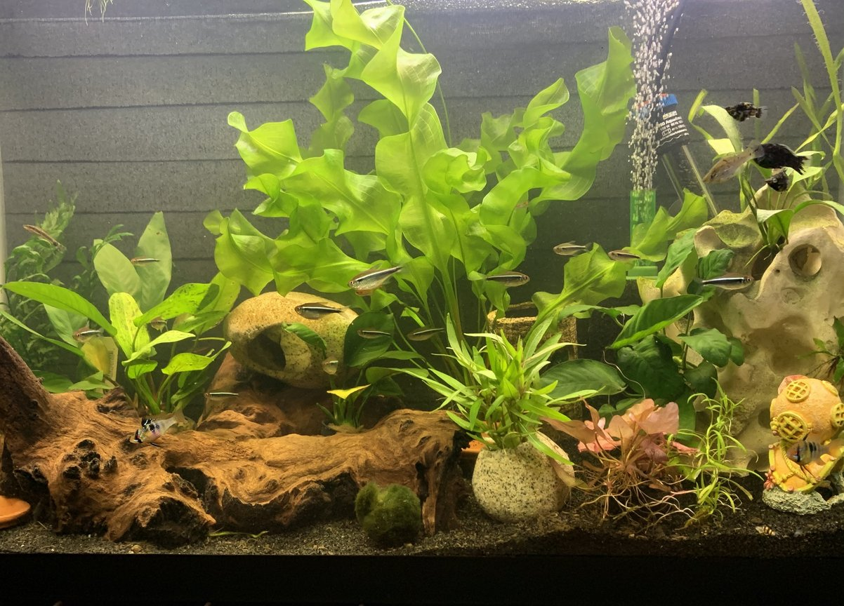 29 gallons planted tank (mostly live plants and fish) - 29 Community Tank