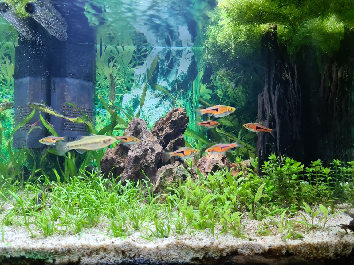 7 gallons planted tank (mostly live plants and fish) - My attempt to grow carpet this year