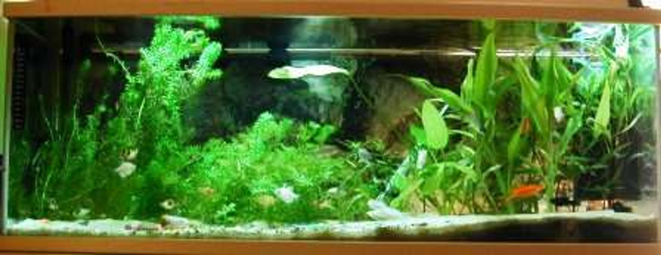 26 gallons planted tank (mostly live plants and fish) - Fullview of the tank.