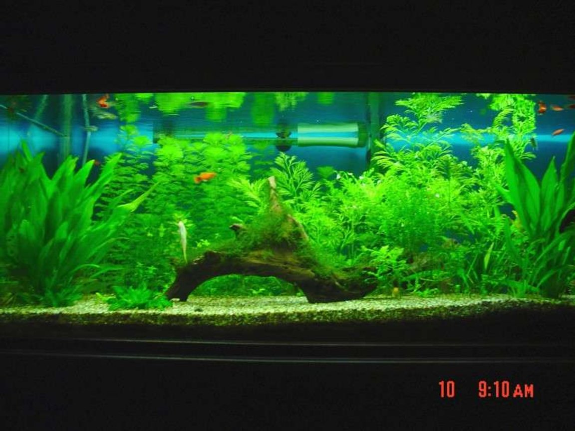 60 gallons planted tank (mostly live plants and fish) - Java moss covered drift wood centrepiece