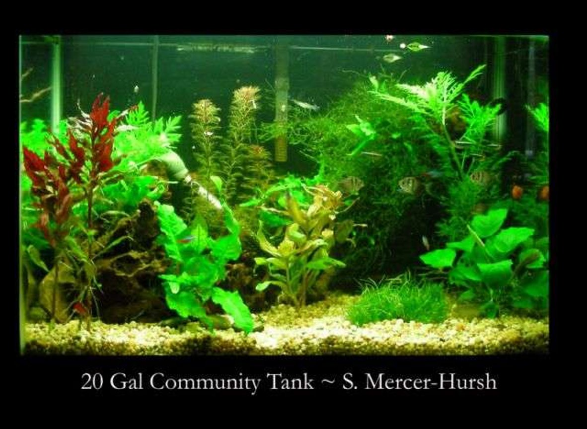 "20 gallons planted tank (mostly live plants and fish) - Tank16x24x12 20 US gals Filtration Whisper 20 with Fuval cermaic media Lighting Jebo 2x 55watt standerd blubs giving me 5.5wpg CO2 Nurifin CO2 unit, water, yeast, sugar mix giving me about 1 bubble per min Substrate small gravel about 3"" deep Fertilisation plant food tabs (near bigger plants) about 1 time per month, Flurish twice a week Water chemistry pH 7.0, Nitrite 0, Nitrate 15, temperature 75 degrees MaintenanceI do a water change once every 2 weeks of about 25%, at that time I will vac the gravel, I rinse the filter media off in the removed water Fish 6 x Black Neon Tetras, 5 x Blue Neon Tetras, 6 x Black Skirt Tetras, 2 x Rubber nose Plecos, 6 x Ghost Shrimp Plants 3xLudwigia glandulosa, 3xHygrophila difformis, 5xMyriophyllum , 10xMicrosorium pteroptus, ~xVesicularia dubyana, 3xAlternanthera reineckii Decor Large piece of bogwood, African black root (the Java log)"