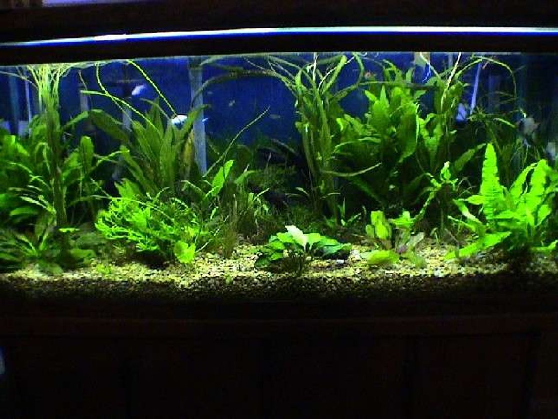 75 gallons planted tank (mostly live plants and fish) - 75 Gallon Oceanic, Freshwater with live plants, Magnum 330 filter, 3 Angel fish, 3 rasboras, 10 neon tetras, 3 otto's, 3 mollies