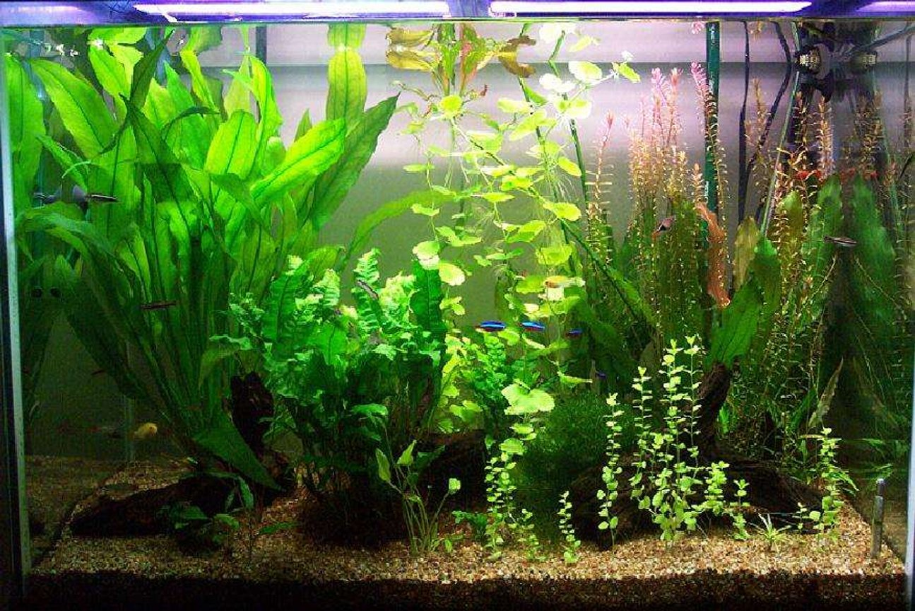 65 gallons planted tank (mostly live plants and fish) - Taken in Jan 2006