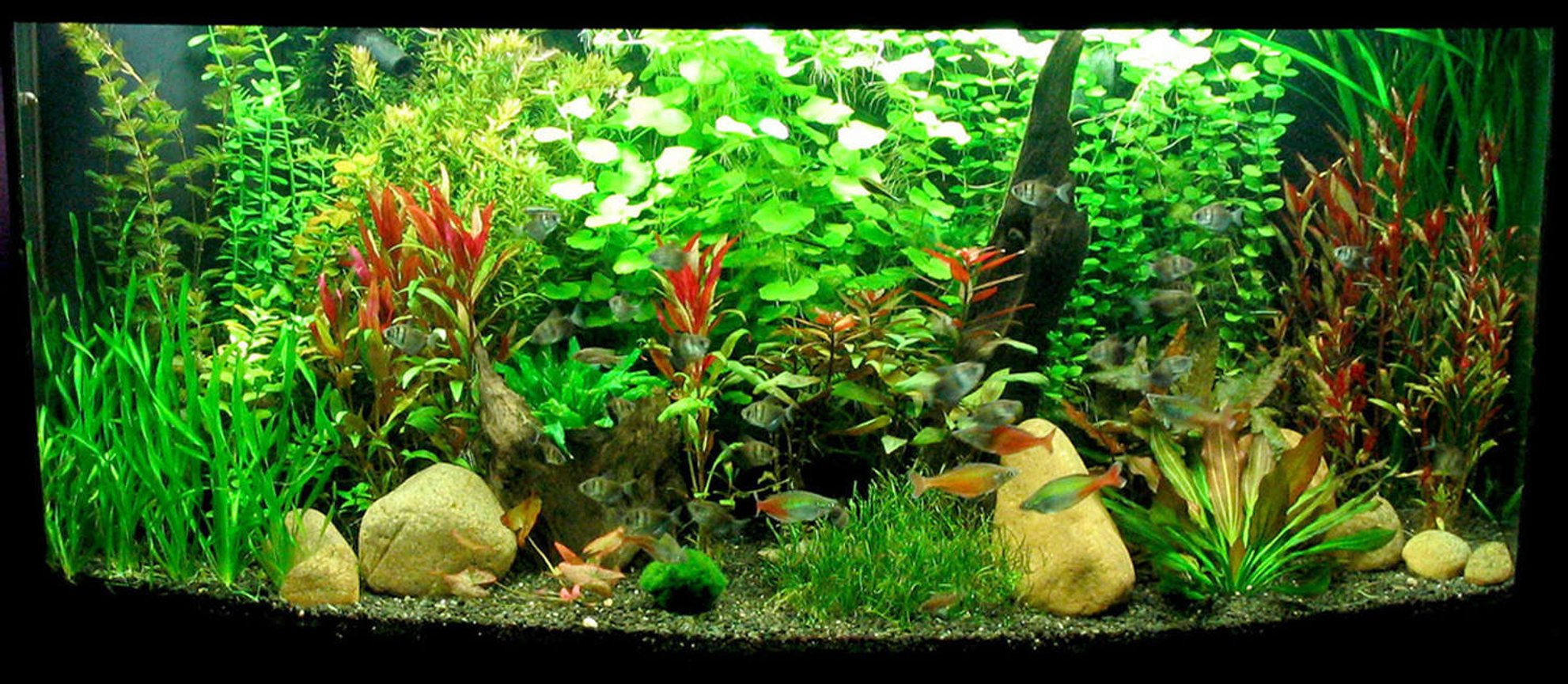 72 gallons planted tank (mostly live plants and fish) - Planted 72 bowfront (overflow) with rock and driftwood