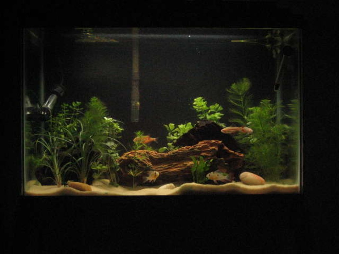 20 gallons planted tank (mostly live plants and fish) - 20 Gallon Planted Bolivian Ram tank