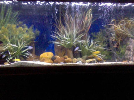170 gallons planted tank (mostly live plants and fish) - 150 Gallon African Cichlid breeding tank.  It has blue colbalts, yellow labs, and clown loaches.  I have been doing fish tanks for 6 years.  So far my favorites are African Cichlids and Australian Rainbows.