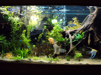 Rated #10: 200 Gallons Planted Tank - 200 gal. community tank.  Fully planted low light setup.