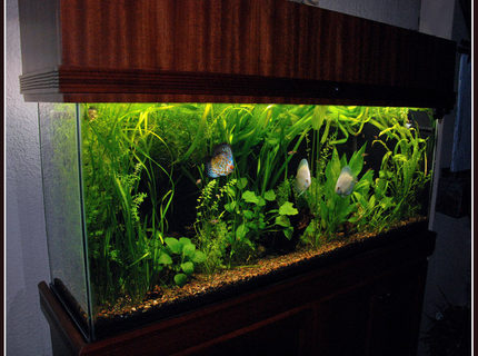 Rated #7: 125 Gallons Planted Tank - 55 gallon planted aquarium with discus fish. Fluval 305, 4 - 40w T12 fluorescent tubes, 6,500K.