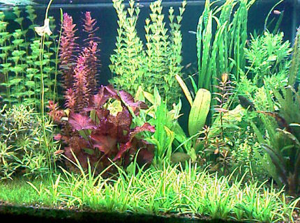 52 gallons planted tank (mostly live plants and fish) - This is my planted tank 200 liter
