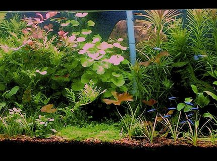 Rated #4: 55 Gallons Planted Tank - updated pic