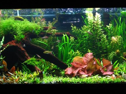 Rated #2: 40 Gallons Planted Tank - Update of my tank aprox. 7mo. old! grew up real quickly! Just added some pearl blue and red cherry shrimp in the tank to control algae. crypts are back and coming in nicely!