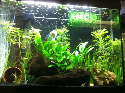 38 gallons planted tank (mostly live plants and fish) - Low light plants, apistogramma pair, guppies, angelfish, corys, and ottos