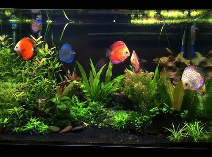 90 gallons planted tank (mostly live plants and fish) - Planted Discus tank
