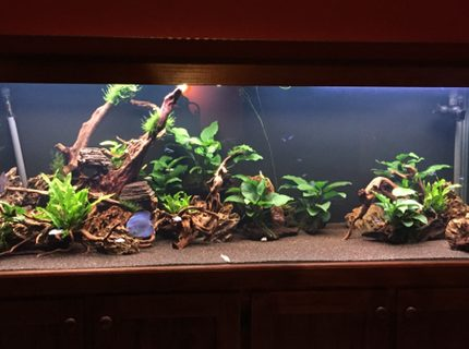 180 gallons planted tank (mostly live plants and fish) - 180 Gallon Discus tank