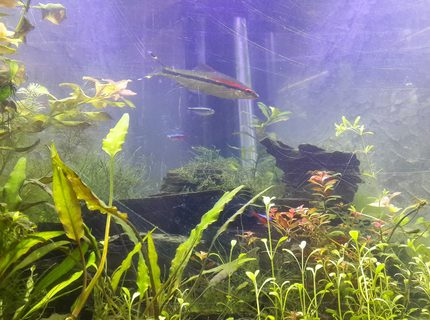 50 gallons planted tank (mostly live plants and fish) - mt planted