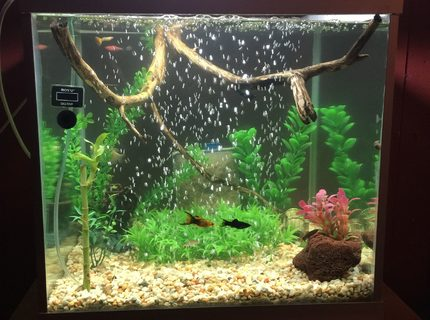 50 gallons planted tank (mostly live plants and fish) - Community Tank - Water Bamboo,Natural River Sand & Gravel, River Drift Wood,Platinum Gourami, Mollies, Platies, Goppies, Bala Shark, Rainbow Shark.