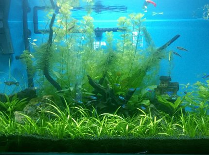 50 gallons planted tank (mostly live plants and fish) - My Tank/14th Dec