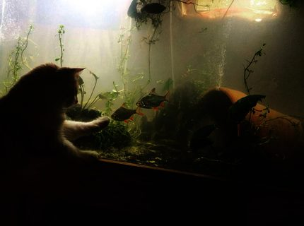 220 gallons planted tank (mostly live plants and fish) - cat want a taste of the south asian fishiies