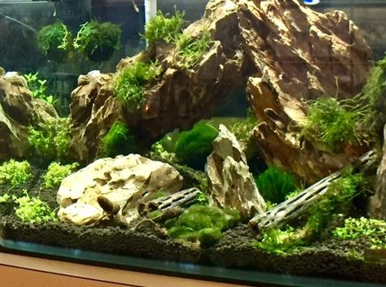 150 gallons planted tank (mostly live plants and fish) - first aquascape. Dragon stone, weeping and flame moss. Planning on adding shrimp.