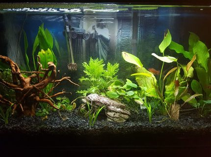 30 gallons planted tank (mostly live plants and fish) - 30 gal Freshwater planted tank, a few Serpae tetra, and one common pleco. I will be adding more fish to the tank, just haven't decided what to add at this time. I'm using an Aquaclear 30 Filtration system as well as an air stone bubbler. 